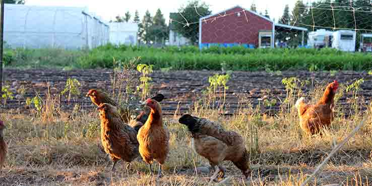 Don't Be a Chicken – Keep Portland Green!